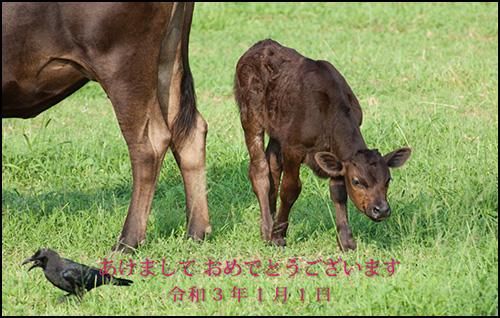 黒島の仔牛